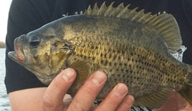 Master Angler rock bass