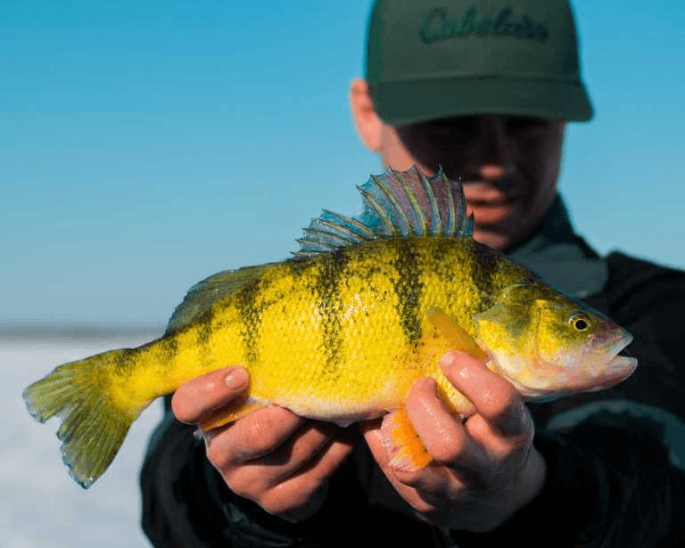 Master Angler yellow perch