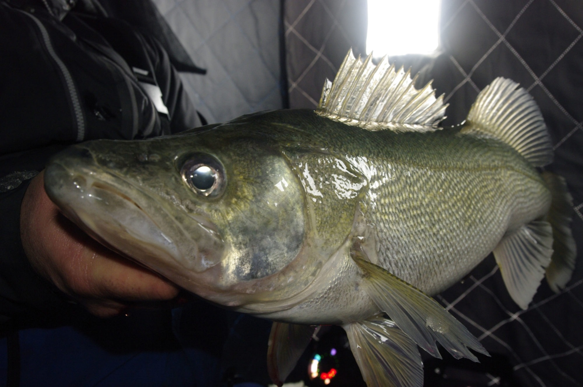 Master Angler Greenback Walleye