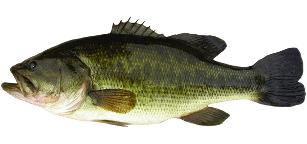 how to catch big bass in spring