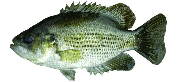 Rock bass travel manitoba for Flying fish little rock menu