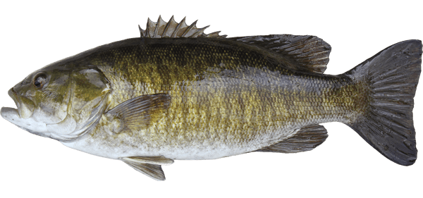 the characteristics of the large mouth bass Wildlife id and equipment flash cards authors: rod n williams,  largemouth bass characteristics large mouth whitish body with broad, dark stripe along side.