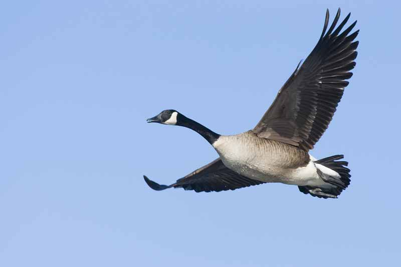 Canada goose in flight against blue sky