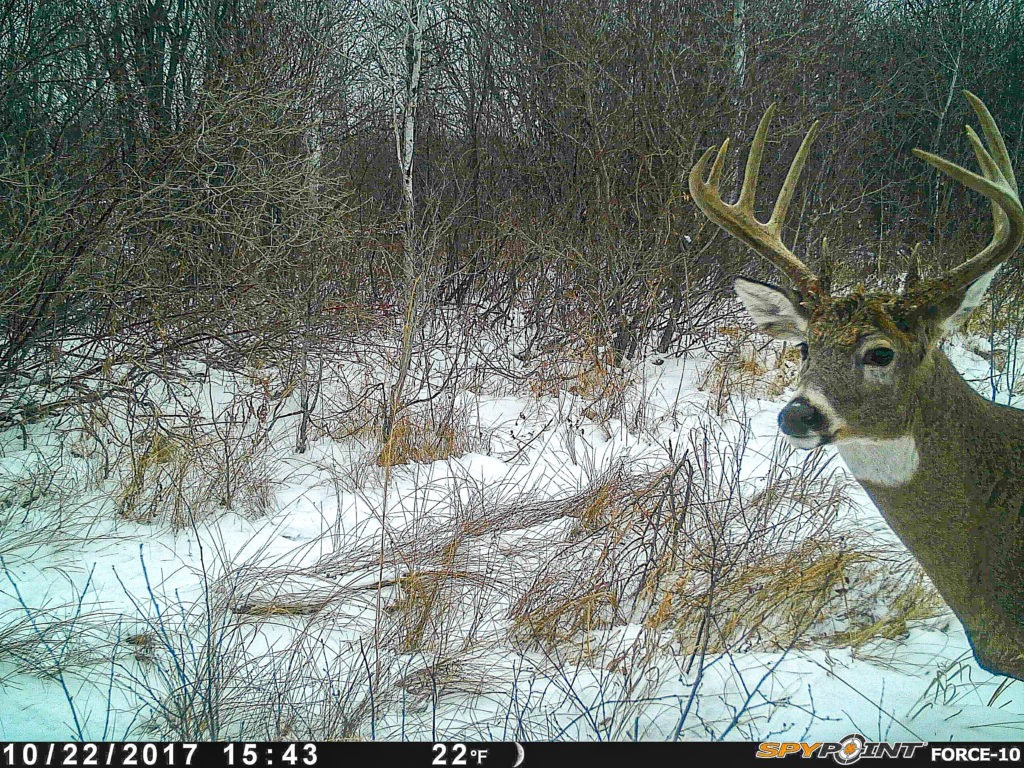 Manitoba whitetail