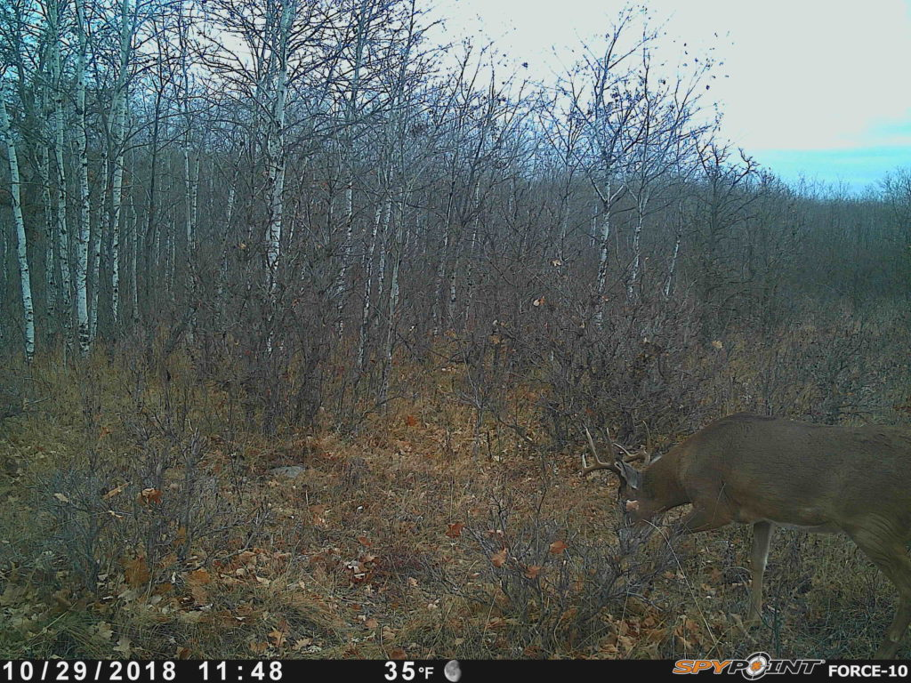 buck in rut
