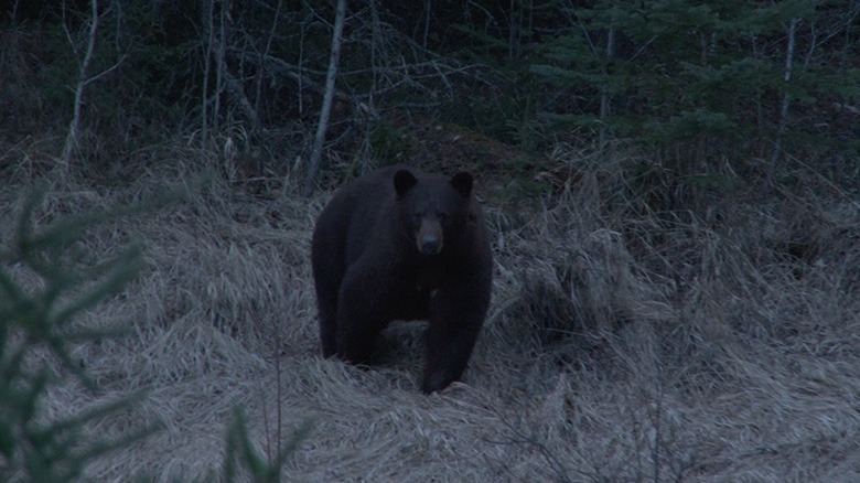 manitoba bear hunts