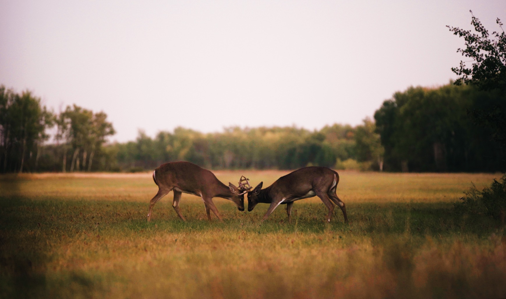 whitetail deer fight